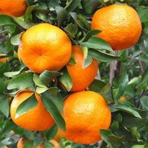 mandarines-martinique